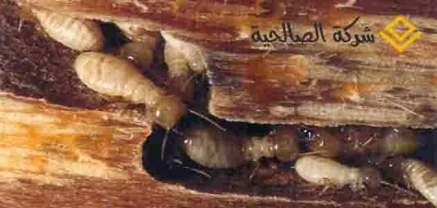 شركة مكافحة النمل الابيض بالرياض -*-